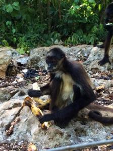 Monkey at Tulum sanctuary