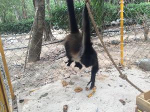 swinging monkey tulum mexico